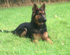pup groen Dax
