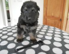 Pup zwart