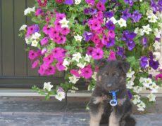 Pup blauw